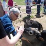 Cows_ Seniors